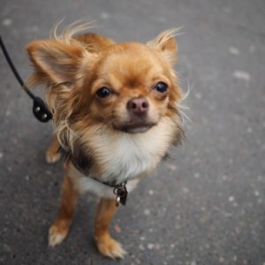 A tiny and glamorous long hair red chihuahua with white chest and toes looks at the camera with a super model pose