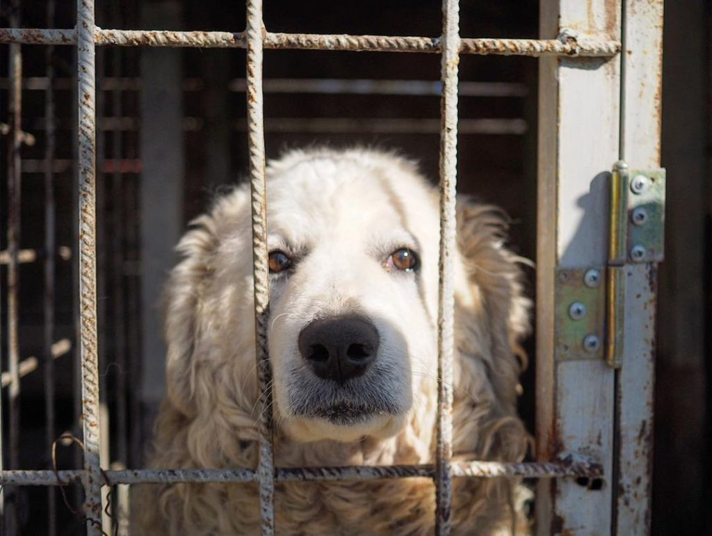 A very large white Italian sheepdog called a Marrema in a filty small cage at a mountain resort