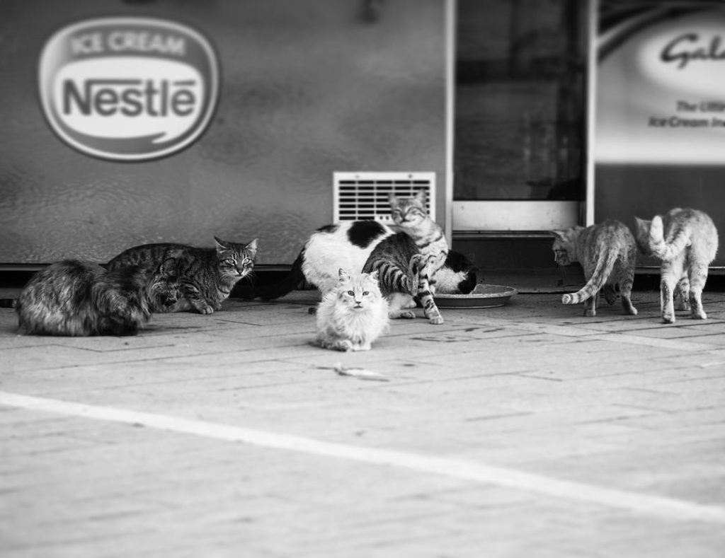 a large group of stray cats being fed by a local business each morning