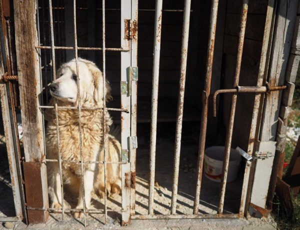Maremma Sheepdog in a small cage at Dajti mountain resort in Tirana, Albania